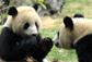 大熊猫奥运北京行